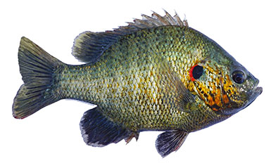 REDEAR SUNFISH (SHELLCRACKER)